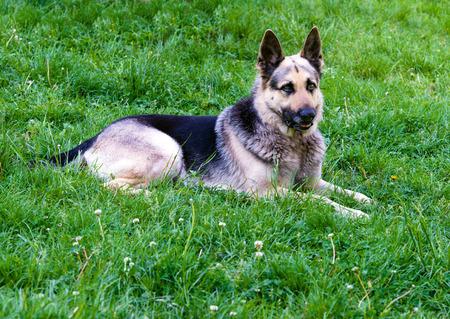 german shepherd on the grass: German shepherd right side. German shepherd is on the green grass. Stock Photo