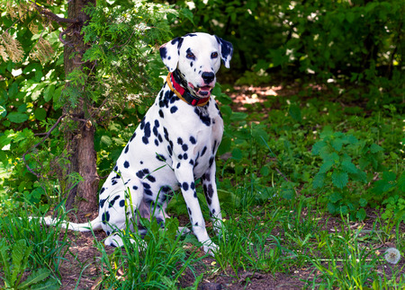 dalmatian: Dalmatian in attack. The Dalmatian is on the green grass.