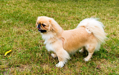 lap dog: Pekingese profile.  Pekingese is on the grass in the park.