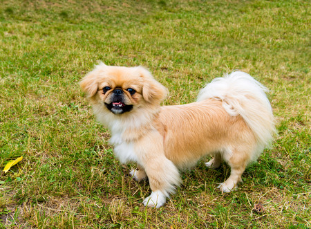 lap dog: Pekingese stands.  Pekingese is on the grass in the park.