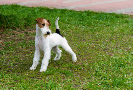 Fox-terrier. The Fox Terrier stands in the park.