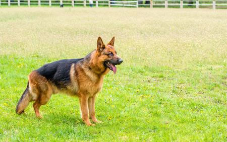 German shepherd  ready.  The German shepherd  is on the grass field.