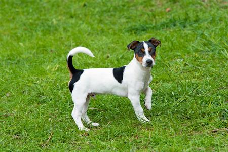 jack russell terrier: Jack Russell Terrier plays.  The Jack Russell Terrier is on the grass in the park. Stock Photo