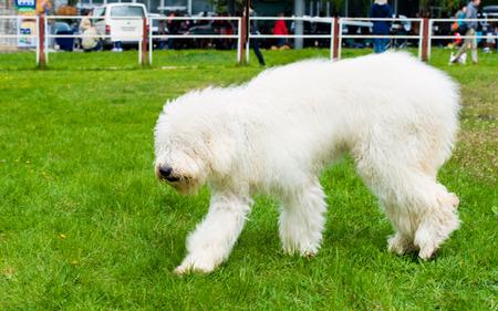sheepdog: South Russian Sheepdog walks. The South Russian Sheepdog is in the park. Stock Photo