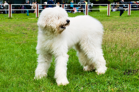 South Russian Sheepdog looks. The South Russian Sheepdog is in the park.