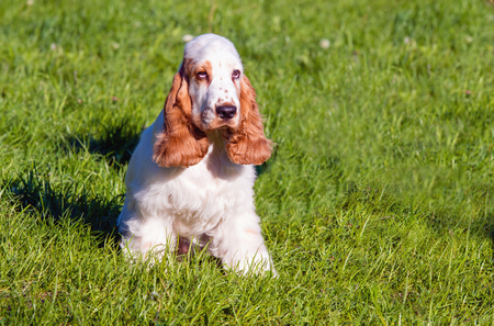 english cocker spaniel: English Cocker Spaniel seats. The  English Cocker Spaniel is on the grass. Stock Photo