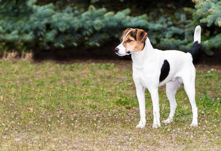 rata: Smooth Fox Terrier en pie. El Smooth Fox Terrier se encuentra en el parque.