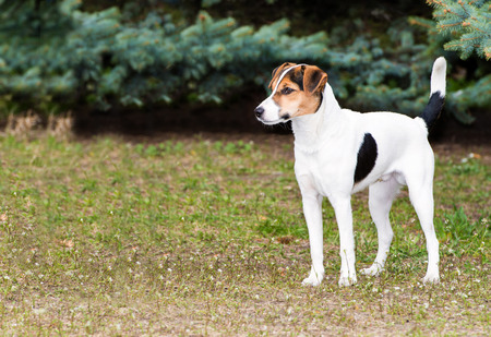 fox fur: Smooth Fox Terrier stands.  The Smooth Fox Terrier stands in the park. Stock Photo