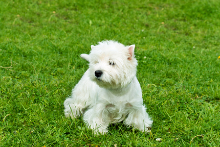 westie: West Highland White Terrier stands. The West Highland White Terrier stands on the grass.