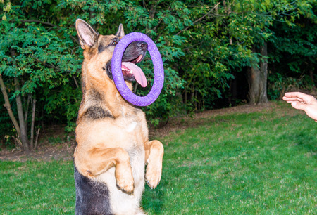 training device: German shepherd with puller.  The German shepherd stands with the puller on the nose. Puller is the dog training device.