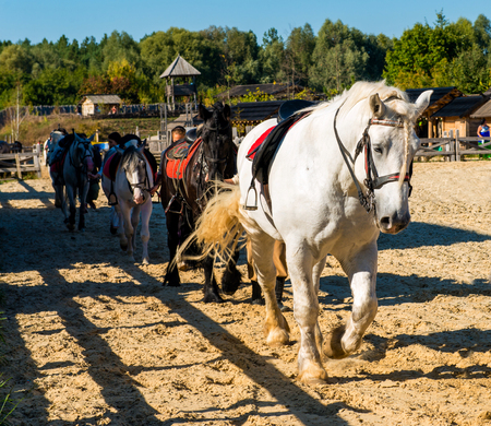 domestication: Horse white leader. The white horse is on the show. Stock Photo