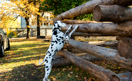 dalmatian: Dalmatian interesting.  The Dalmatian is in the country house.