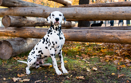 inquiring: Dalmatian seats near logs.  The Dalmatian is in the country house. Stock Photo