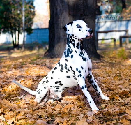 dalmatian: Dalmatian is proud.  The Dalmatian is in the autumn park.
