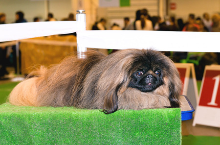 pekingese: Pekingese lies.  The Pekingese lies on the show table.