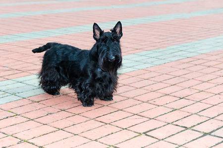 delano: Scottish Terrier. The Scottish Terrier is in the city park. Stock Photo