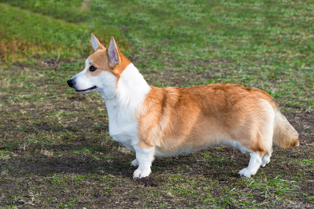 Cardigan Welsh corgi profile. Cardigan Welsh corgi is in the park.
