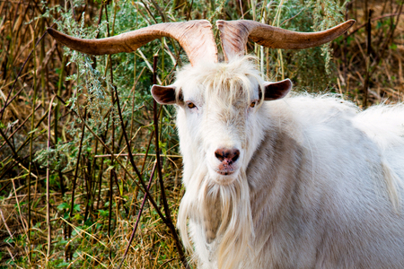 he goat: He-goat with big horns. The he-goat with big horns walks in the farm.