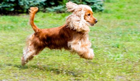 hunting cocker spaniel: Cocker Spaniel run. The Cocker Spaniel run in the park.