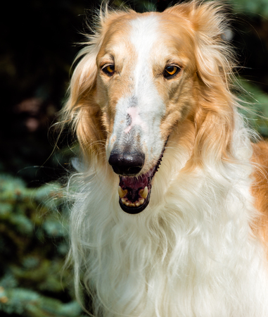 full face: Borzoi Russian full face  portrait. The Borzoi Russian dog is on the green grass. Stock Photo