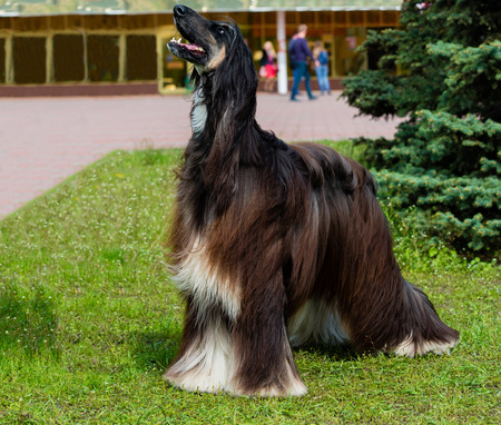 afghan: Afghan Hound barks. The Afghan Hound is on the green grass. Stock Photo