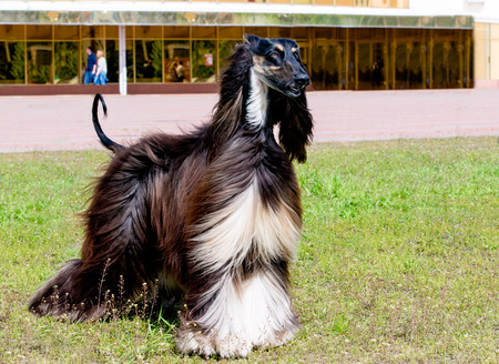 silky hair: Afghan Hound looks. The Afghan Hound is on the green grass.