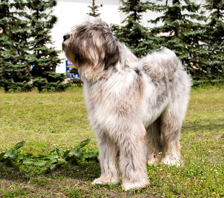 herding dog: Briard looks.      The Briard of the gray color is in the park.