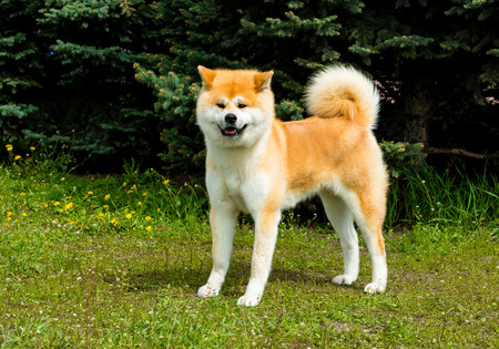 The Japanese Akita Inu looks. The Japanese Akita Inu is in the park. Stock Photo - 60984682
