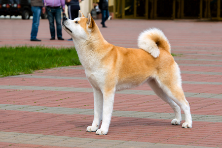 The Japanese Akita Inu profile. The Japanese Akita Inu is in the park. Stock Photo - 60988311