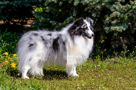 Gray Shetland Sheepdog. The gray Shetland Sheepdog is on the grass. Stock Photo