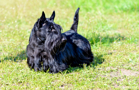 Scottish Terrier looks. The Scottish Terrier is on the grass.