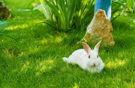 leporidae: Rabbit white. The white Rabbit is on the green grass. Stock Photo