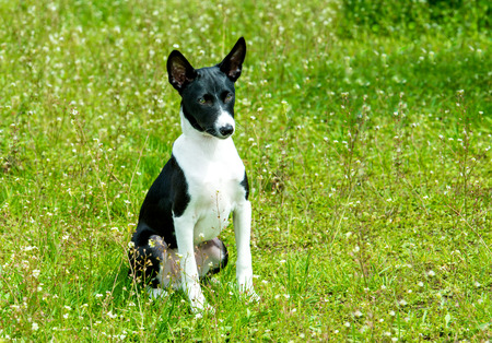Basenji black and white.  The Basenji is on the grass in the park.
