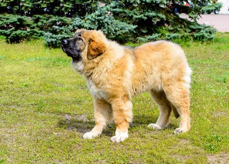 Caucasian Shepherd Dog puppy stands. The Caucasian Shepherd Dog puppy stands in the park. Stock Photo