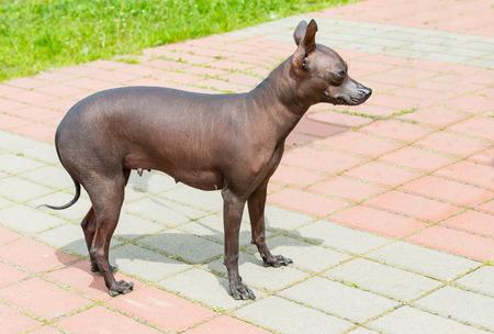 Xoloitzcuintli hairless dog.   The Xoloitzcuintli hairless dog stands in the park.