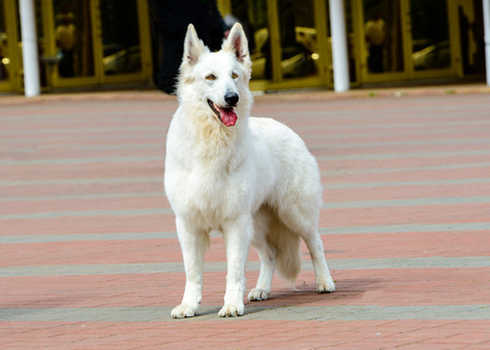 White Swiss Shepherd full face.   The White Swiss Shepherd is in the park. Stock Photo