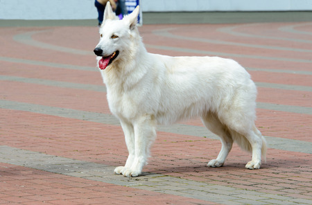 White Swiss Shepherd profile.      The White Swiss Shepherd is in the park.
