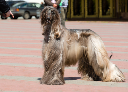 afghan: Afghan Hound under command.  The Afghan Hound is in the park.