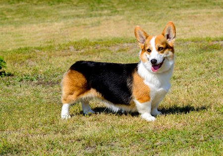 Cardigan Welsh Corgi looks aside. Cardigan Welsh Corgi stands in the park.