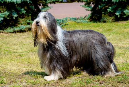 Bobtail looks ahead. Old English Sheepdog stands on the grass Stock Photo