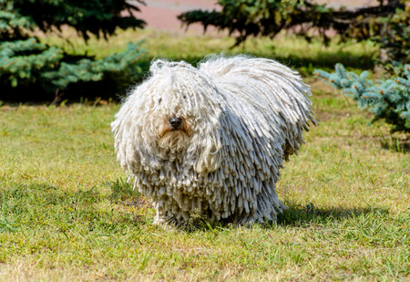 Puli in full face. The Puli stands on the grass in the park.