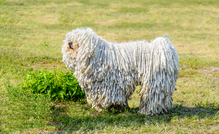 Puli in profile. The Puli stands on the grass in the park. 스톡 콘텐츠