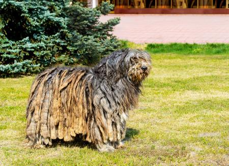 Bergamasco Shepherd in profile. The Bergamasco Shepherd stands on the green grass in the park.