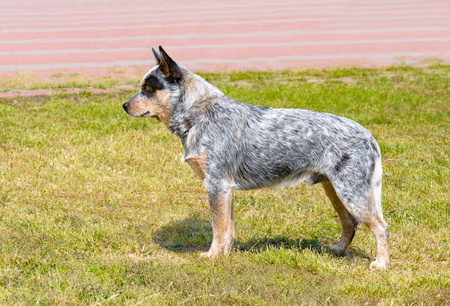 Australian Cattle Dog in profile. The Australian Cattle Dog stands on the green grass in the park.