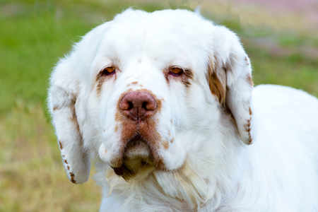 Clumber Spaniel full face portrait. The Clumber Spaniel stands on the grass in the park. Stock Photo