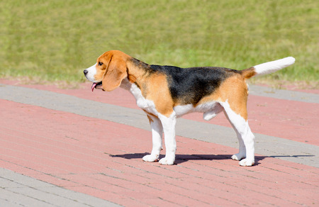 Beagle dog in profile.  The Beagle stands in the park. Stock Photo - 98409955