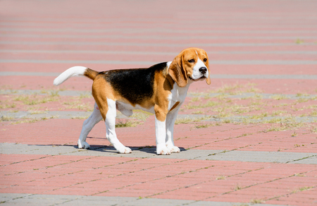Beagle dog looks aside.  The Beagle stands in the park. Stock Photo - 98415265