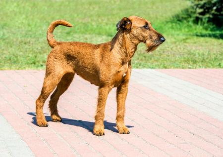 Irish Terrier looks ahead. The Irish Terrier stands in city park. Stock Photo