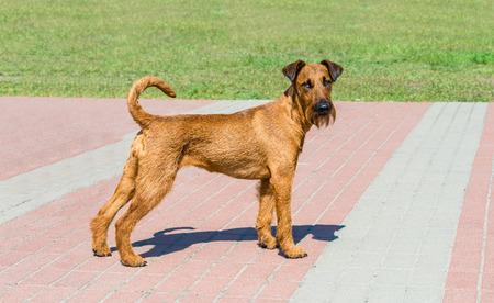 Irish Terrier looks in camera.  The Irish Terrier stands in city park. Stock Photo - 102235949
