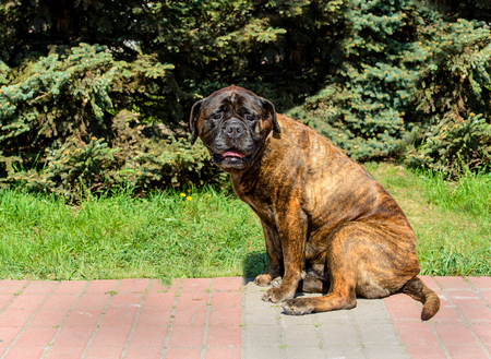 Bullmastiff puppy seats. The Bullmastiff puppy is in the city park. Stock Photo - 102759542